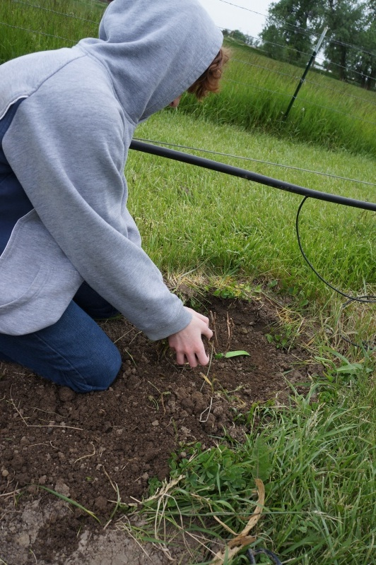 Youth planting grape vine